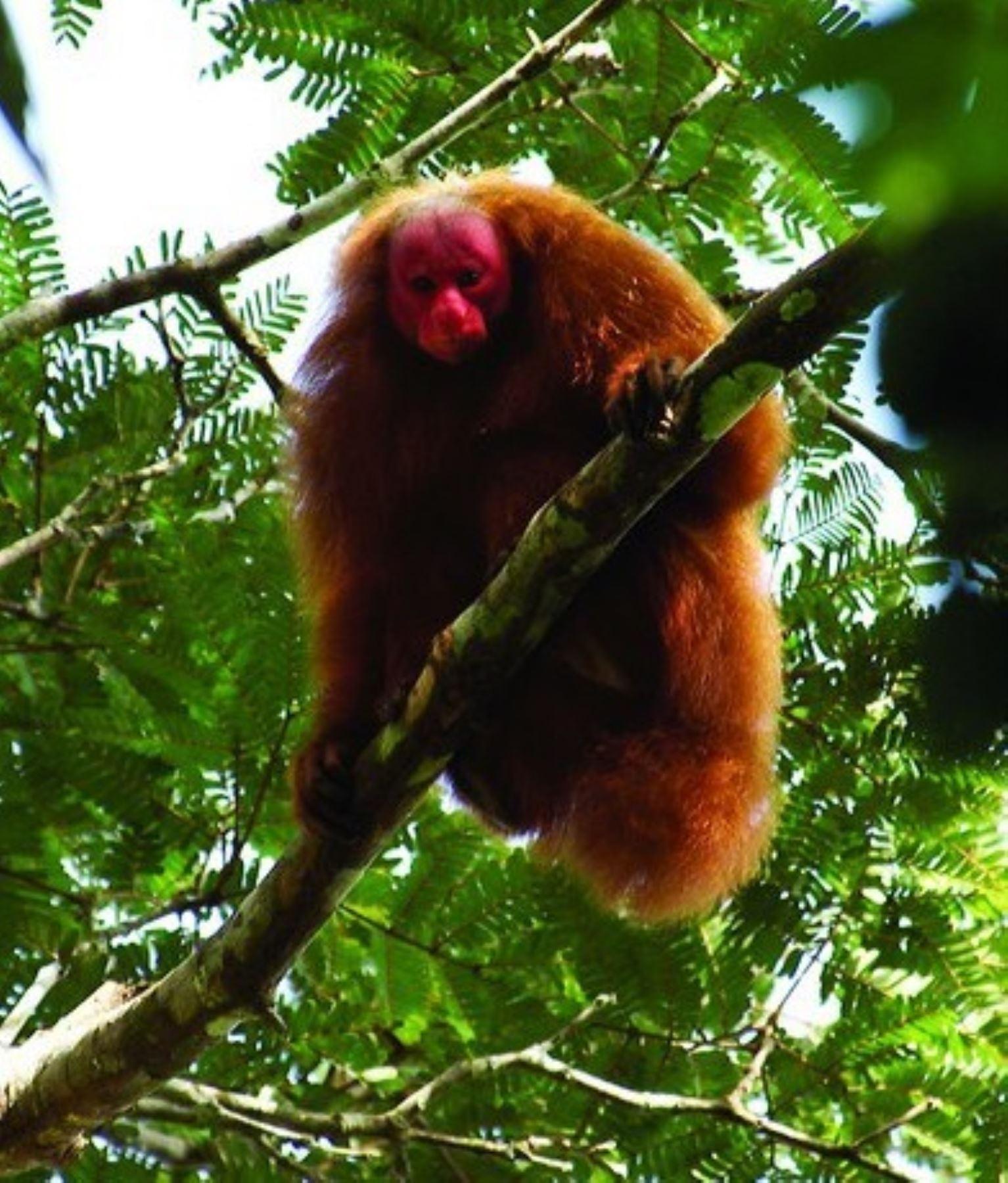 """Mono """"guapo colorado"""" (Cacajao calvus), una de las 16 especies registradas hasta el momento (la mayor cantidad de primates de la Amazonía peruana), en el Parque Nacional Sierra del Divisor. Foto: Facebook Parque Nacional Sierra del Divisor/Pronaturaleza"""
