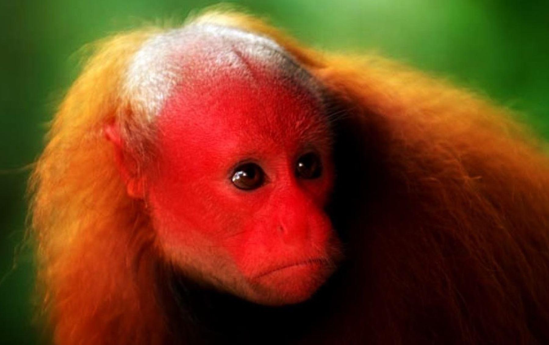 """El Servicio Nacional Forestal y de Fauna Silvestre (Serfor) aprobó el """"Plan Nacional de Conservación de los Primates Amenazados del Perú, periodo 2019-2029"""". ANDINA/Difusión"""