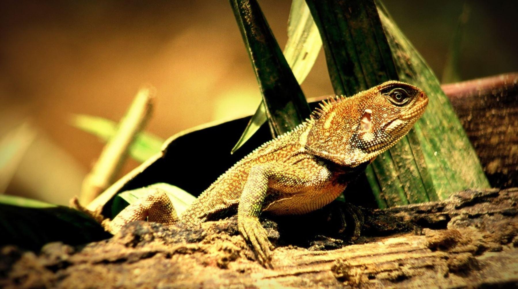Gecko o lagartija más grande de la Amazonía, registrada en el Parque Nacional Sierra del Divisor. Foto: Facebook Parque Nacional Sierra del Divisor/Rhett A. Butler