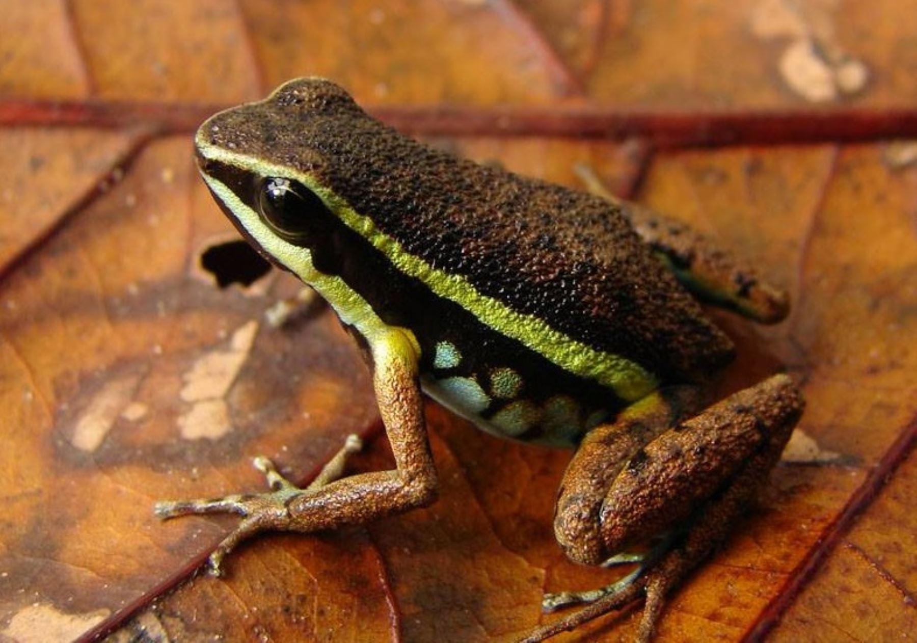 Ameerega ignipedis, rana venenosa encontrada en el Parque Nacional Sierra del Divisor. Foto: Facebook Parque Nacional Sierra del Divisor/Evan Twomey.