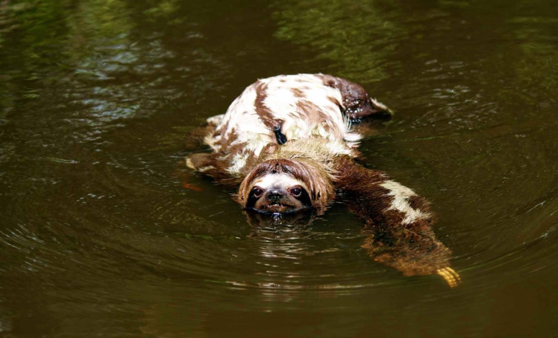 Perezoso que vive en el Parque Nacional Sierra del Divisor. Foto: Facebook/Thomas Müller