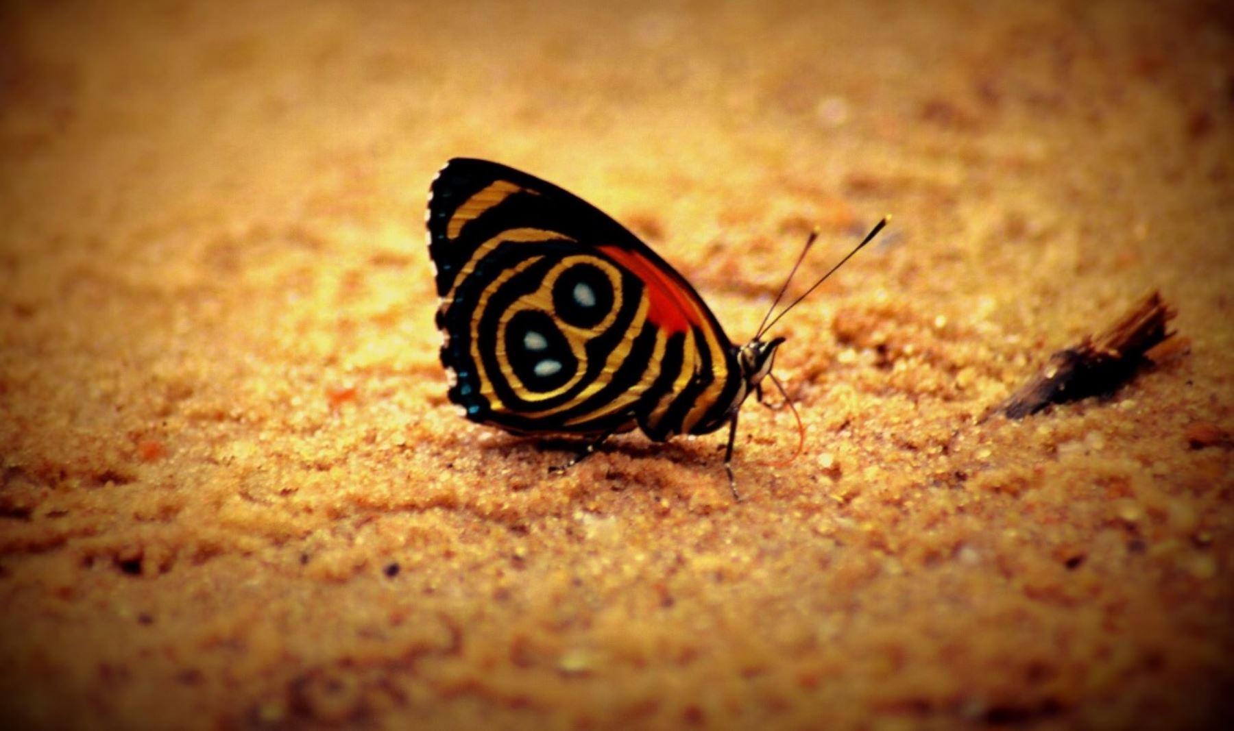 Mariposas registradas en el Parque Nacional Sierra del Divisor. Foto: Sernanp