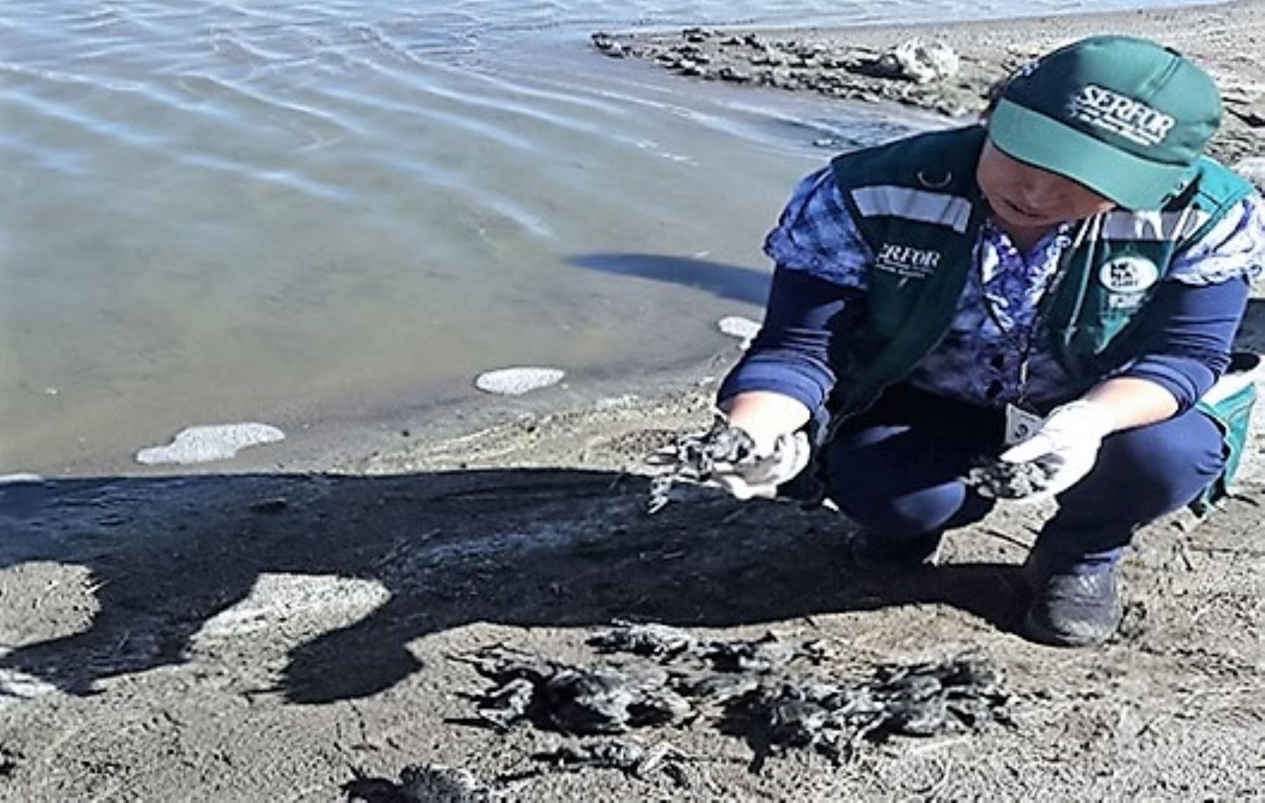 Serfor investiga muerte de más de 10,000 ranas en río Coata, en Puno.