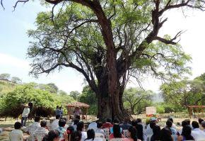 El algarrobo, el árbol emblemático de la costa norte que brinda múltiples beneficios a la población. Foto: ANDINA.