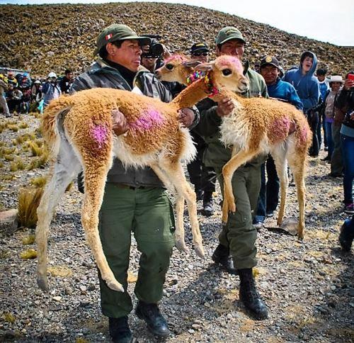 Conoce el protocolo sanitario que regula el manejo y esquila de la vicuña; y el manejo de la fauna silvestre, que aprobó el Ministerio de Agricultura. ANDINA/Difusión