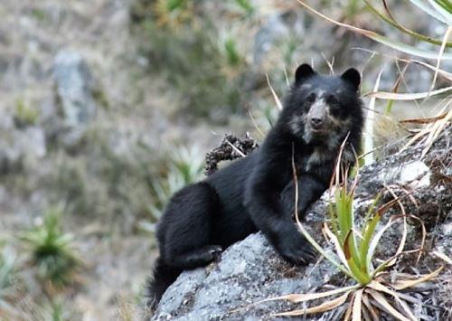 Sernanp capta imágenes de oso andino en Santuario Nacional de Megantoni, en Cusco. ANDINA/Archivo