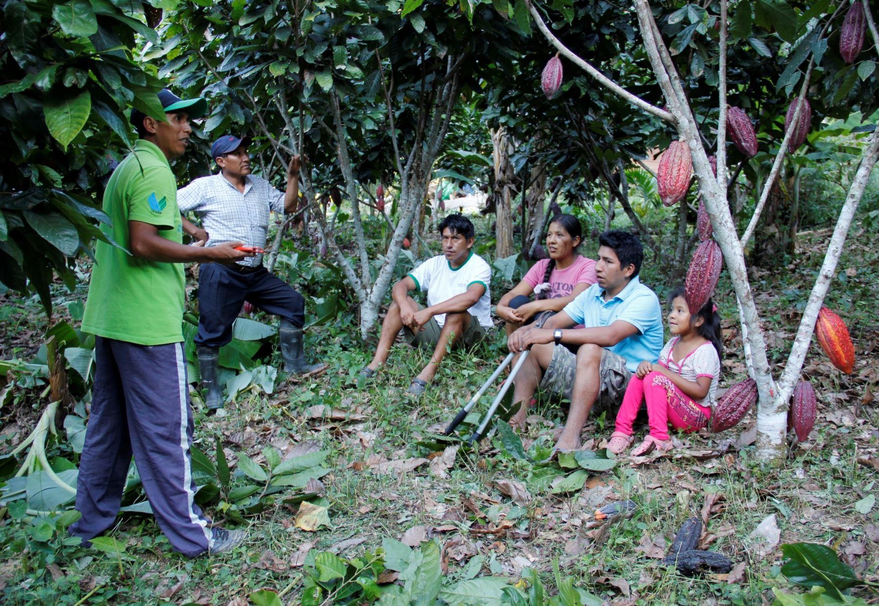 Instalan 120 hectáreas de cultivos de cacao en el distrito puneño de San Gabán. ANDINA