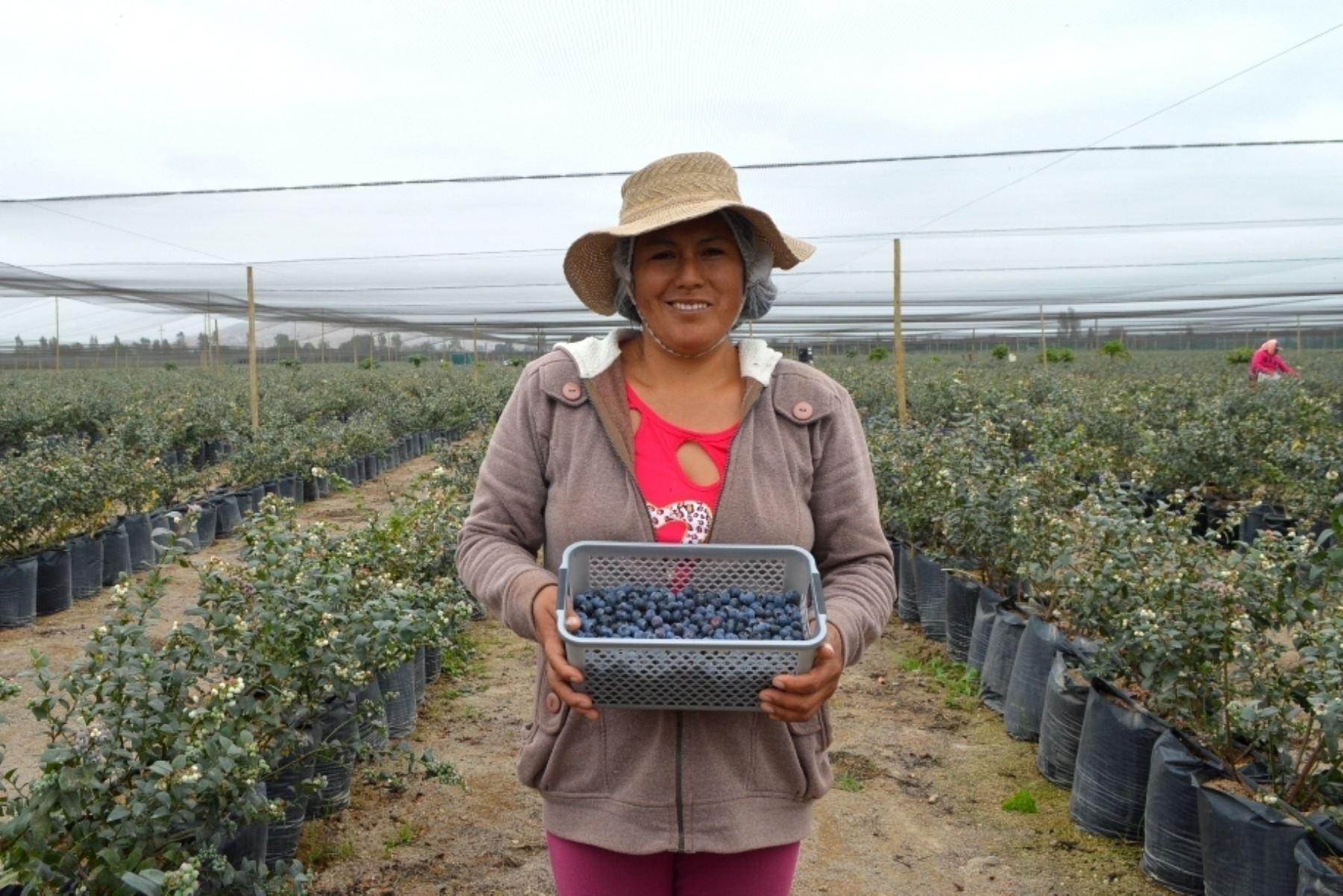 Productora de arándanos. Foto: Sierra y Selva Exportadora.