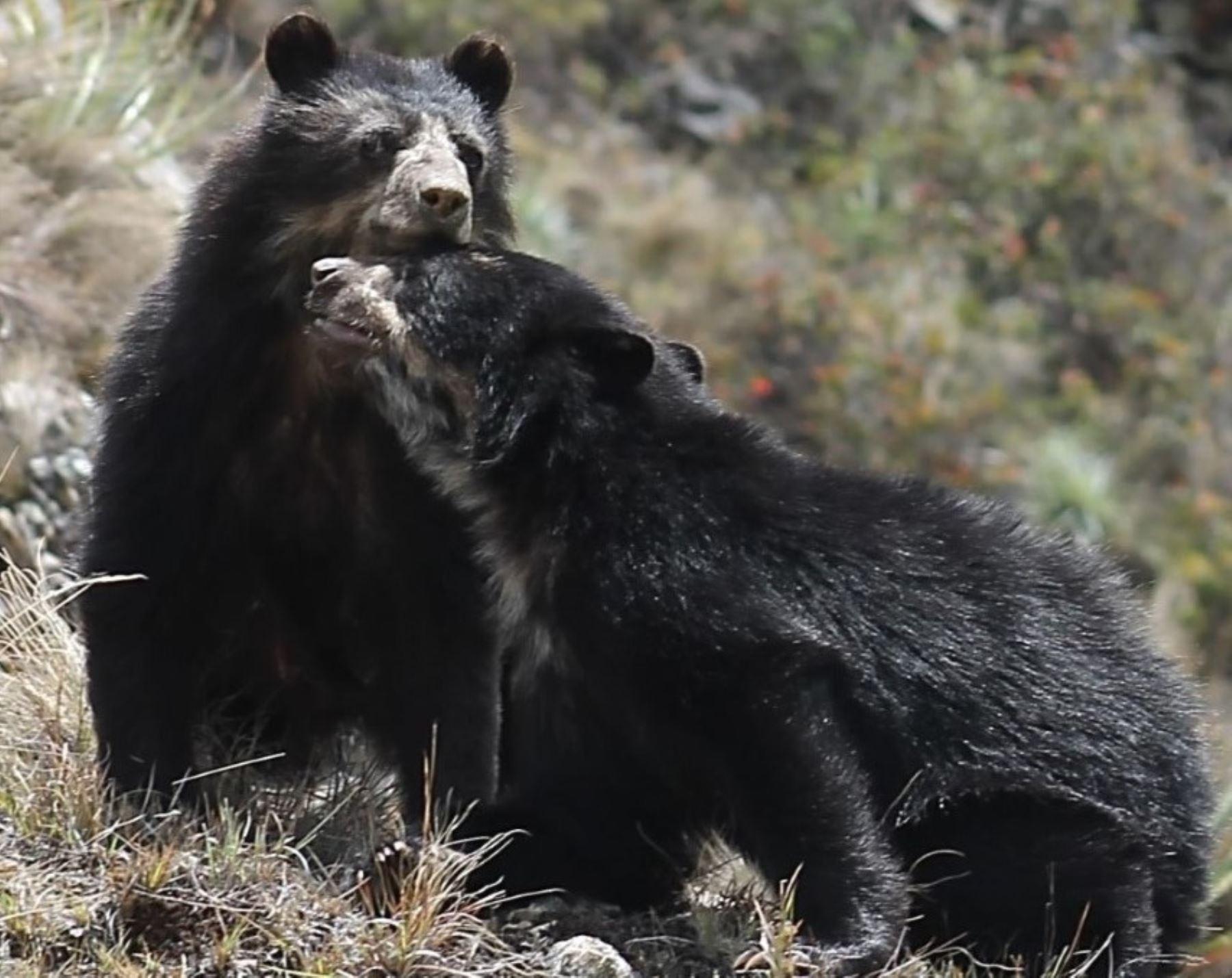 """La creación del Área de Conservación Regional """"Bosques Tropicales Estacionalmente Secos del Marañón"""" permitirá proteger a especies animales endémicas como el oso andino. ANDINA/Difusión"""
