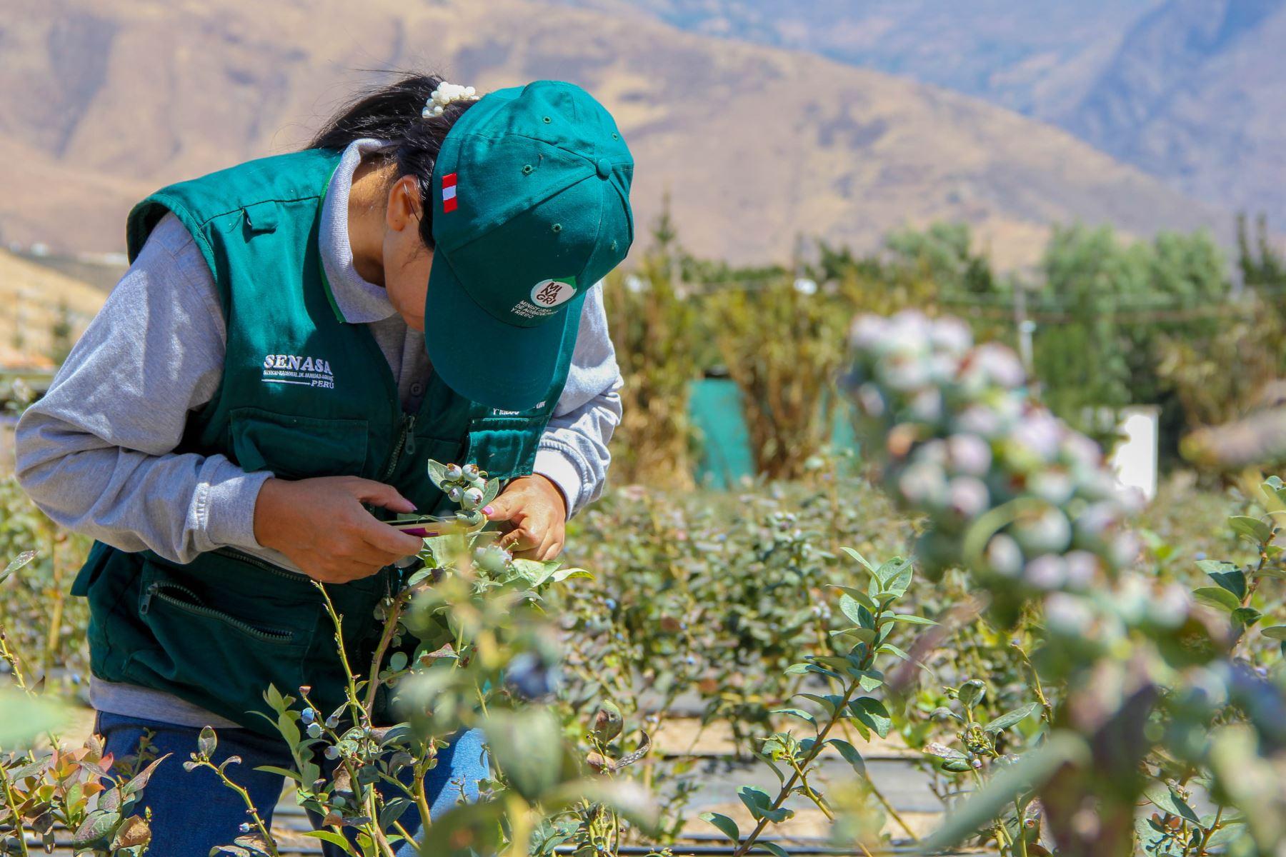 Inspectores del Senasa inspeccionan cultivos de arándanos. Foto: Minagri.
