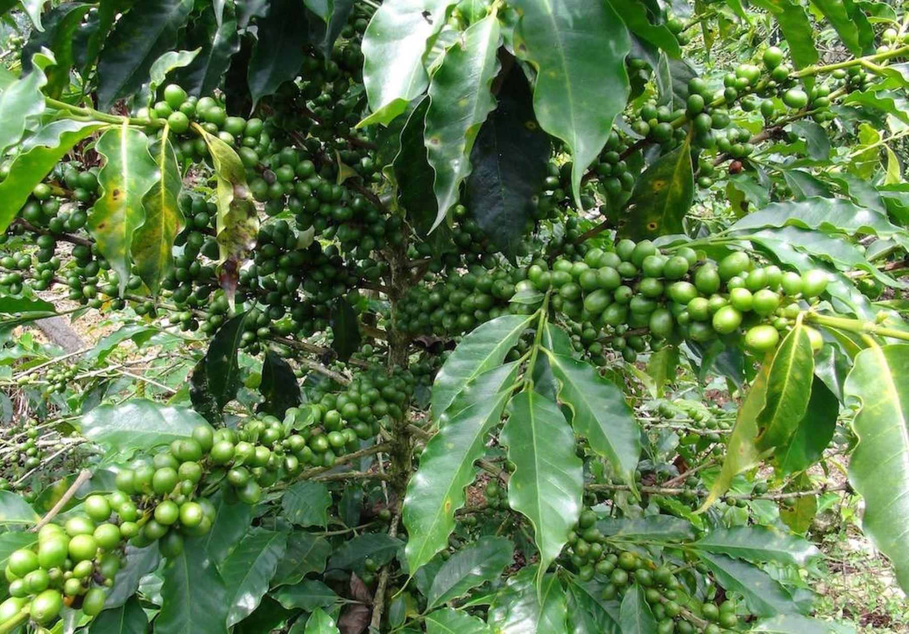 Productores de San Juan del Oro, en Puno, incrementan su producción de café.