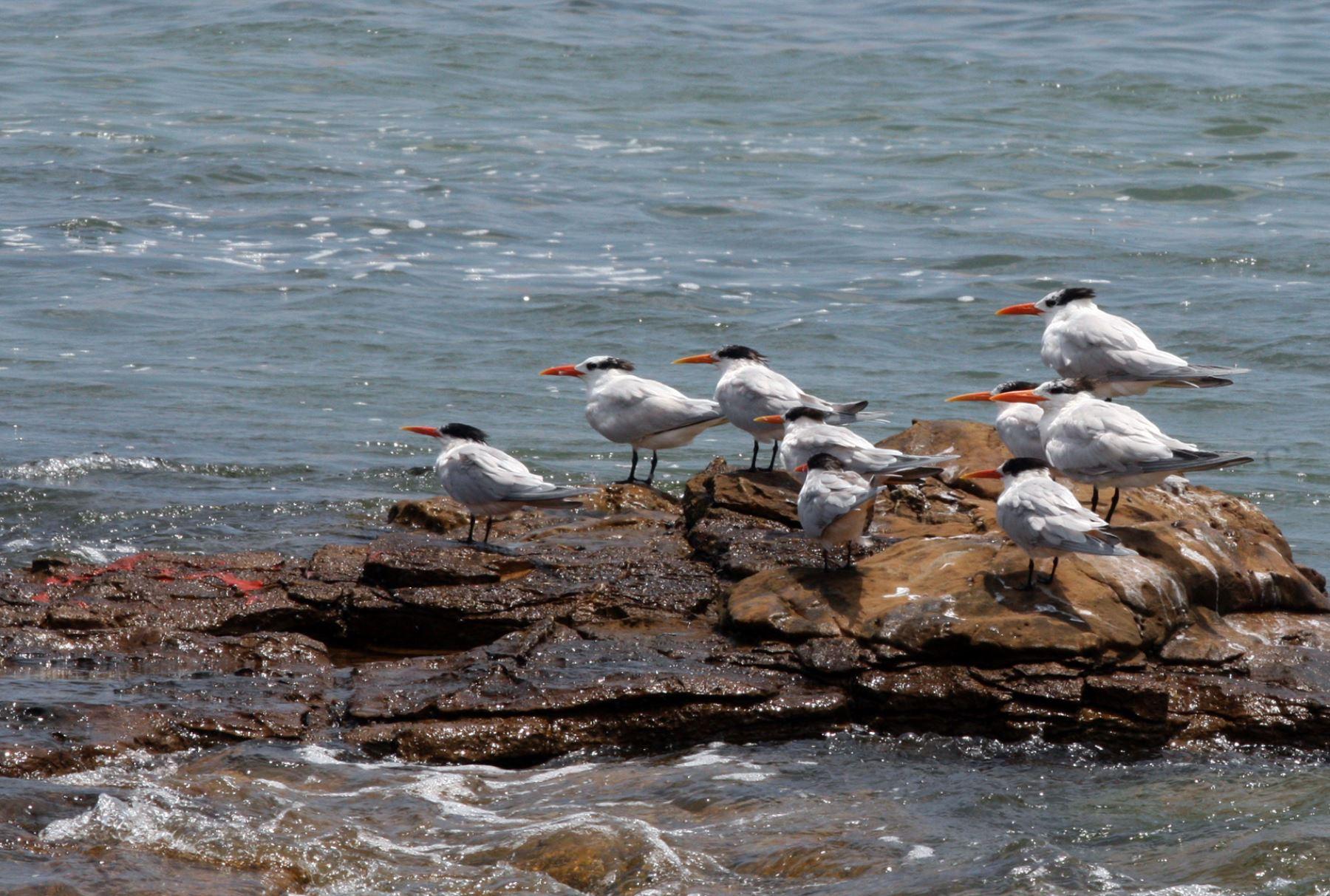 Reconocen monitoreo que protege a especies marinas en Paracas. ANDINA/Jhony Laurente