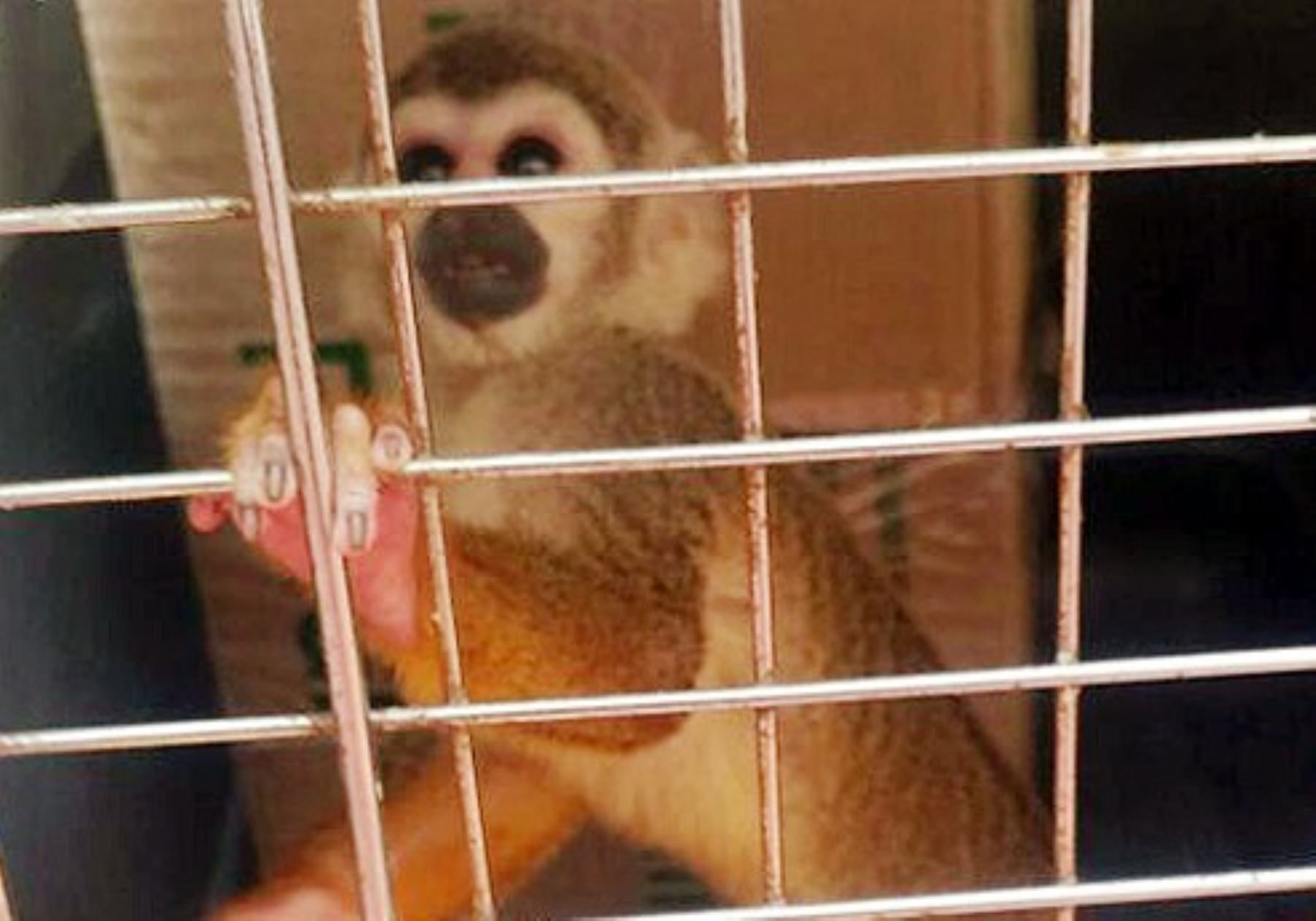 Serfor rescata en Lambayeque monos extraídos de su hábitat para ser criados como mascotas.