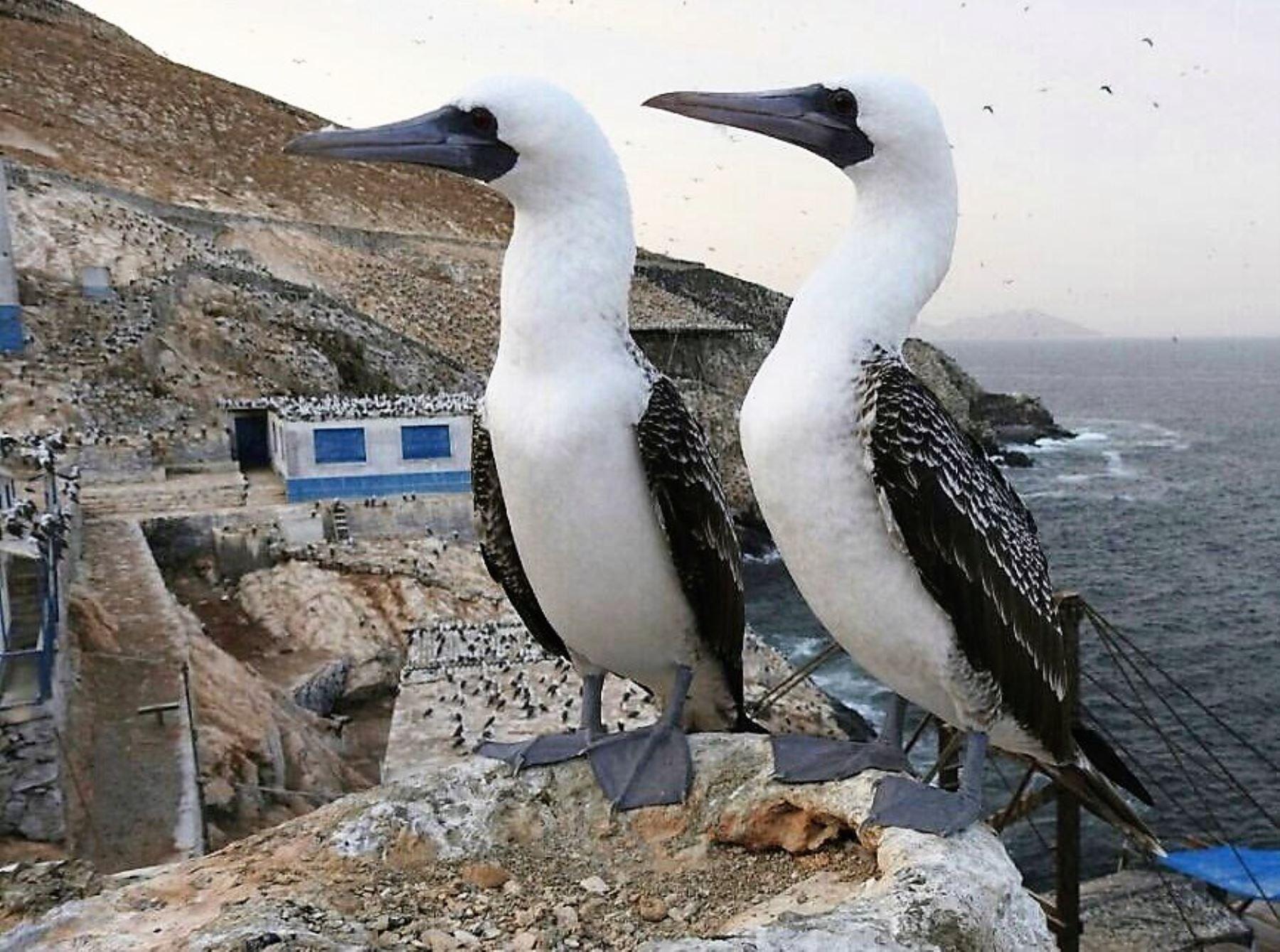 El Piquero de Nasca o Sula grantis fue avistado nuevamente en las islas guaneras del litoral del Perú. ANDINA/Difusión