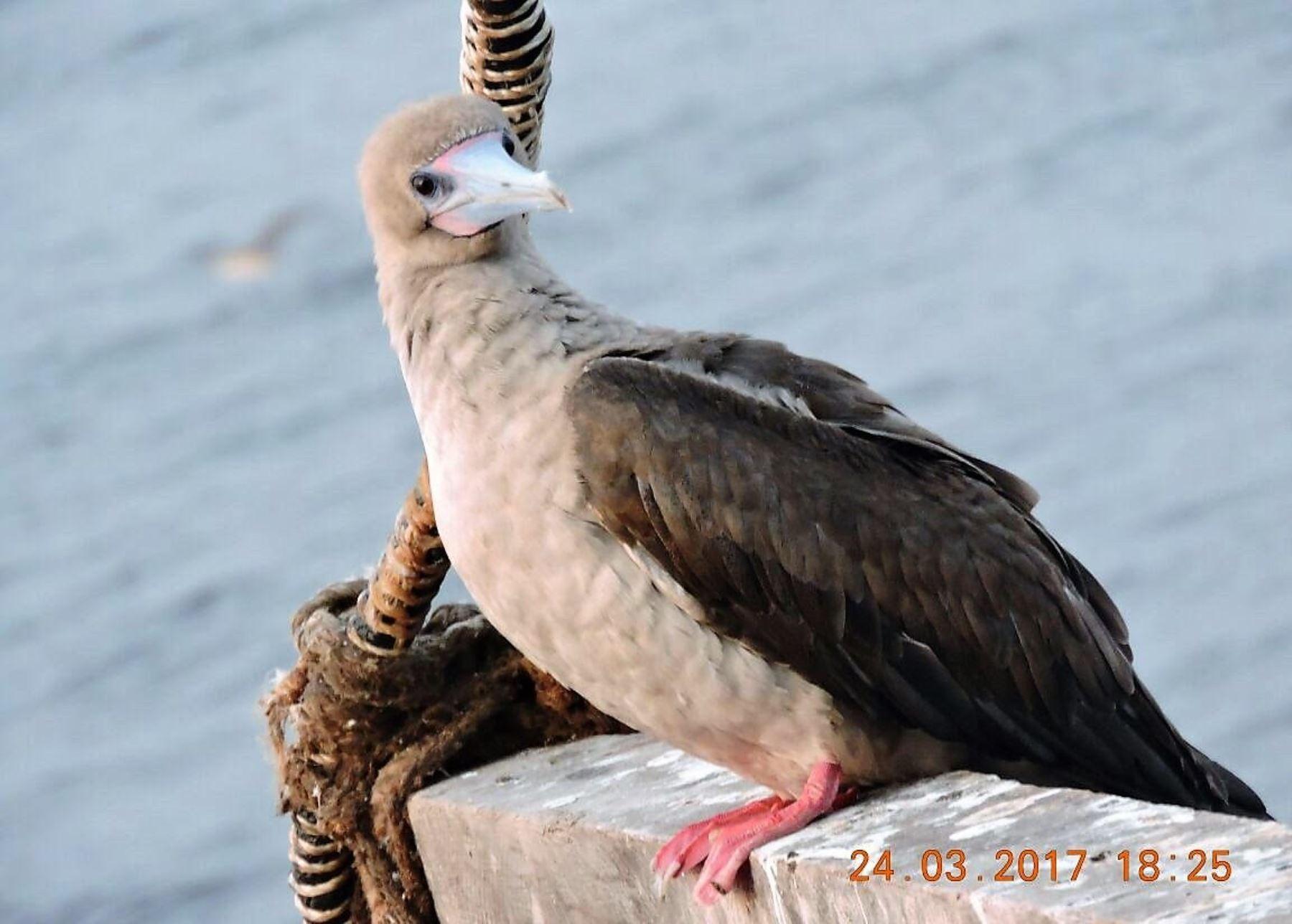 El Piquero Patirrojo o Sula sulas fue avistado también en las Islas Guaneras del litoral del Perú. ANDINA/Difusión