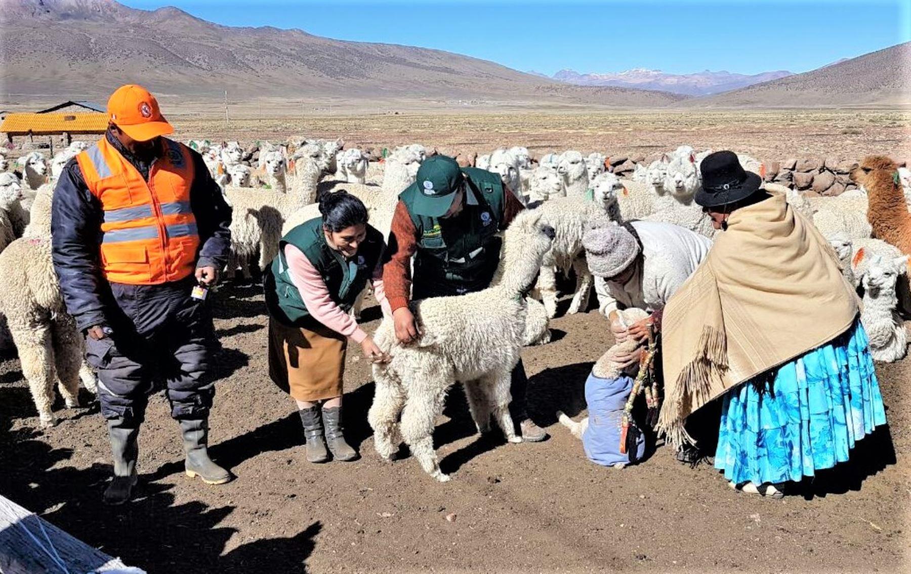Con apoyo del Servicio Nacional de Sanidad Agraria (Senasa) y en presencia de autoridades locales, se vienen aplicando dosis de antiparasitarios y antibióticos a 3,000 cabezas de ganado en ocho sectores del distrito Capaso, a más de 4,400 metros de altura.