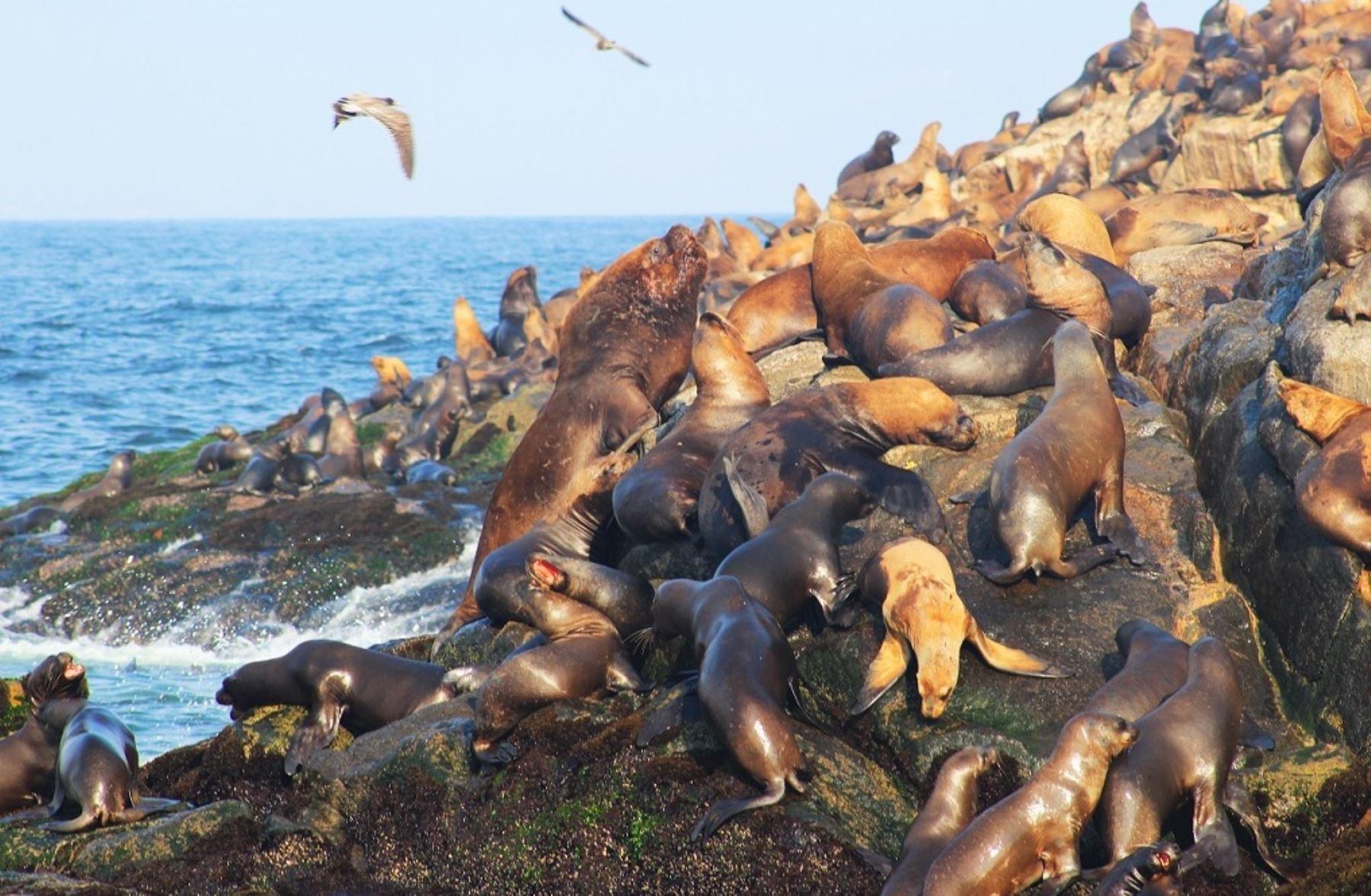Lobos marinos y en las islas Ballestas, región Ica.