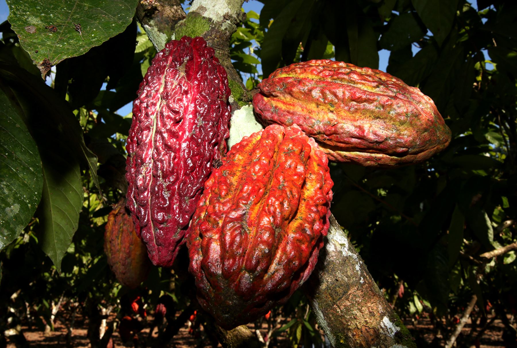 Cacao cultivado en el Perú. ANDINA/Melina Mejía