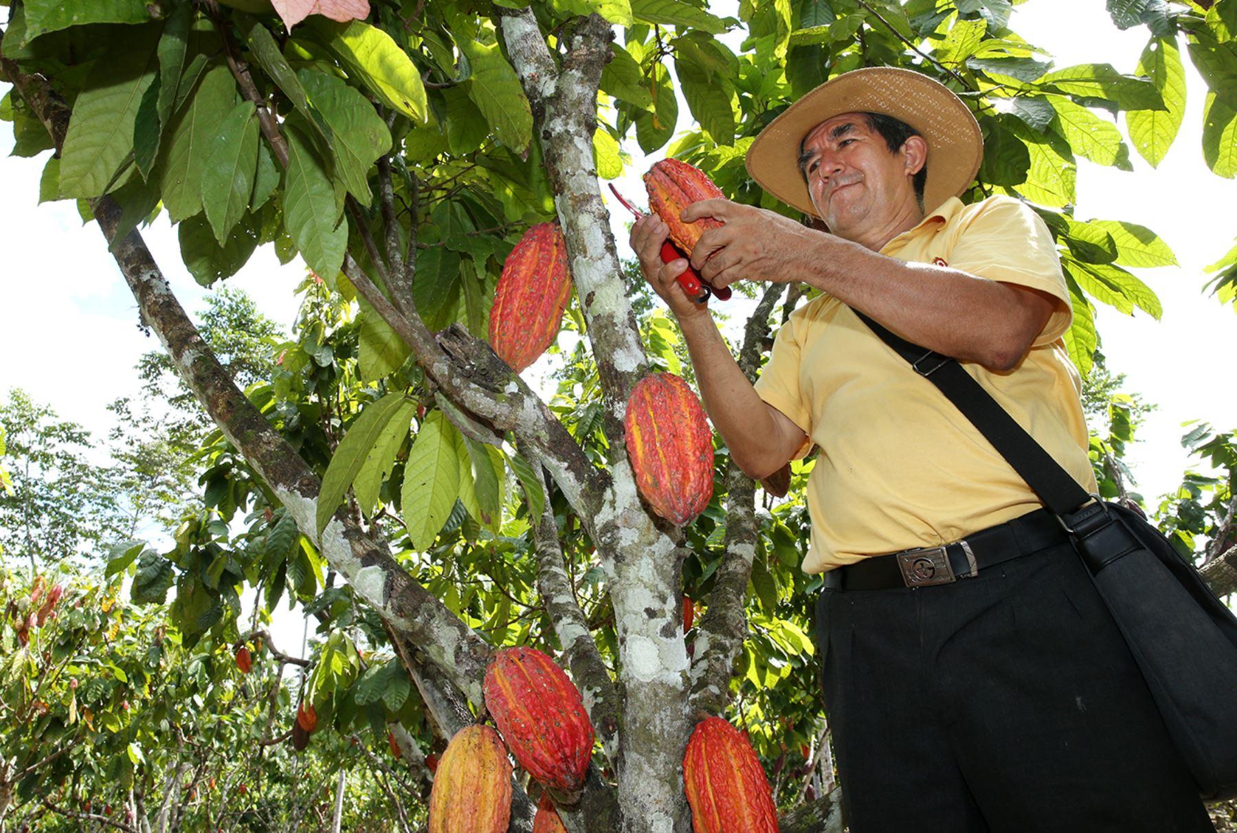 Buscan soluciones para enfrentar a plagas que afectan a los cultivos de cacao. ANDINA/Melina Mejía