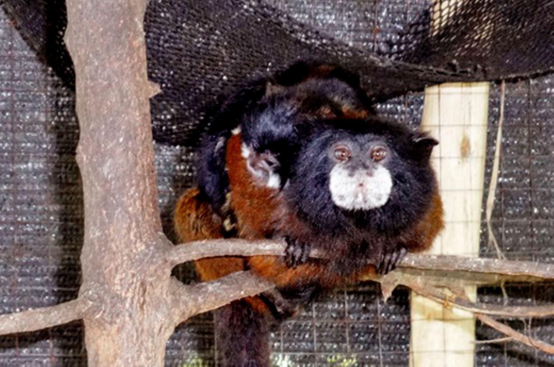 Mono tití (Leontocebus fuscicollis ) alcanzan su etapa de reproducción aproximadamente a los dos años de edad.