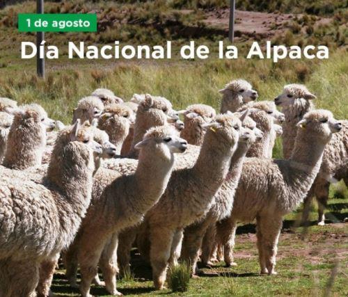 Perú cuenta con más de 3 millones 600,000 ejemplares de alpacas, que representan el 87% de la población mundial, y es el primer productor mundial de fibra de este camélido altoandino. ANDINA/Difusión