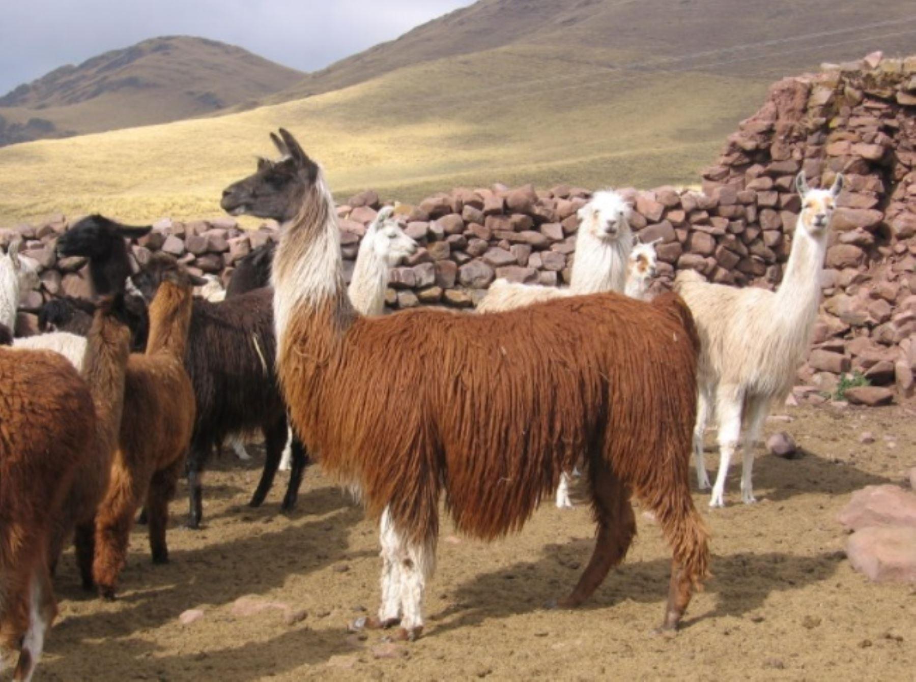 La alpaca es uno de los dos camélidos altoandinos domesticados en el mundo y donde el Perú destaca como primer productor de su fina fibra en el mundo, al contar con el 87% de la población mundial, con más de 3.6 millones de ejemplares. ANDINA/Difusión