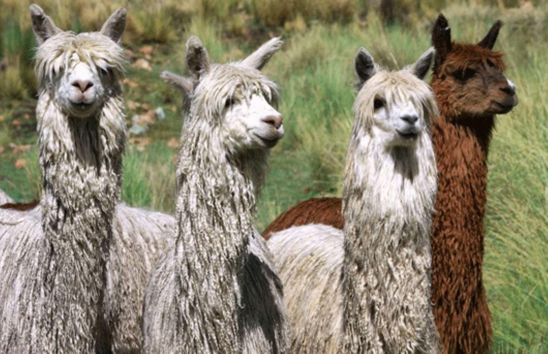 Las regiones de Puno y Cusco tienen la mayor población de alpacas en el Perú, con un millón 459,903 y 545,454 ejemplares, respectivamente, según el Censo Nacional Agropecuario (Cenagro). La crianza de este camélido altoandino es fundamental para la economía y la seguridad alimentaria de las poblaciones dedicadas a esta actividad. ANDINA/Difusión