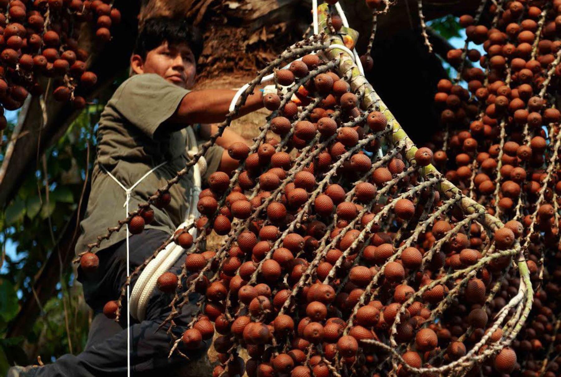 Loreto se prepara para dar valor agregado a producción de camu camu y aguaje. ANDINA/Difusión