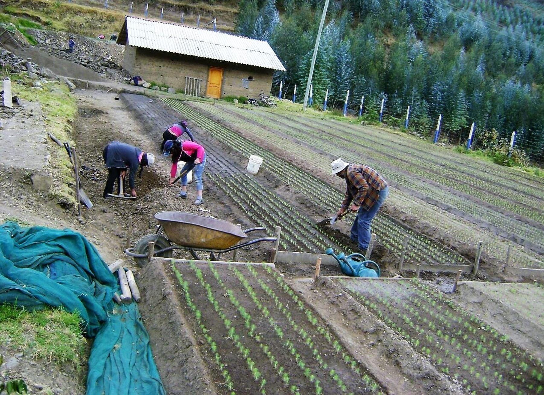 Cajamarca sembrará pino y otras especies forestales maderables. ANDINA/Difusión