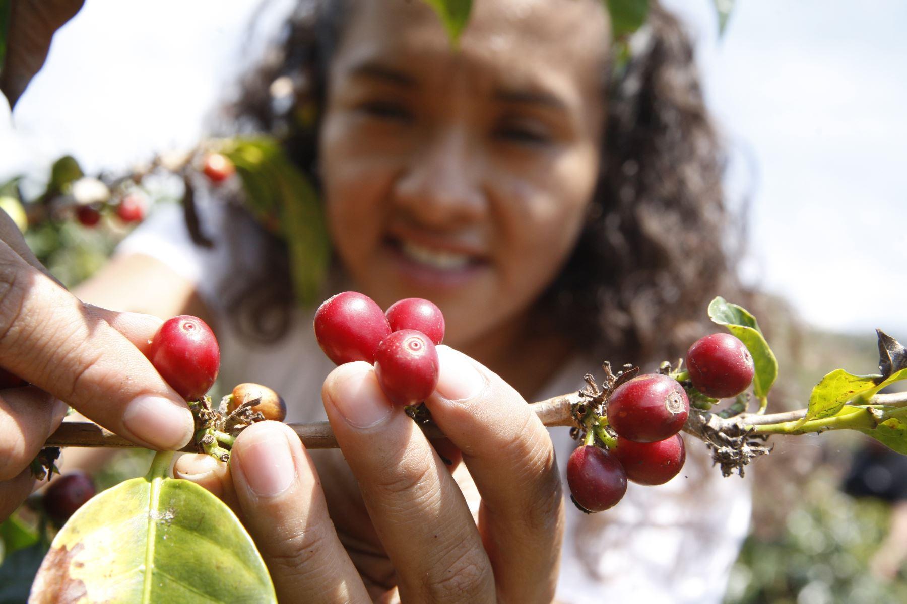 Productora de café. Foto: ANDINA/Eddy Ramos