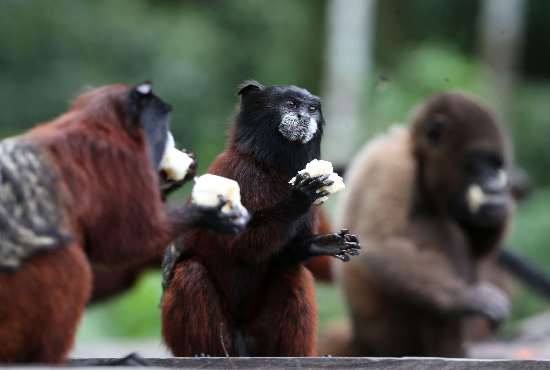 A 30 kilómetros al este de la ciudad de Iquitos, capital de la región Loreto, existe un refugio que pone a salvo, rehabilita y luego libera en su hábitat natural a los primates amazónicos en peligro de extinción por la caza furtiva y la deforestación ANDINA/Vidal Tarqui