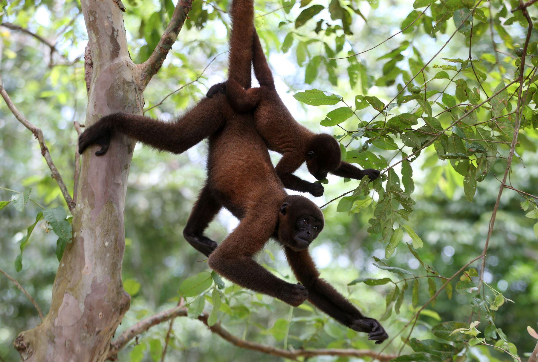 A 30 kilómetros al este de la ciudad de Iquitos, capital de la región Loreto, existe un refugio que pone a salvo, rehabilita y luego libera en su hábitat natural a los primates amazónicos en peligro de extinción por la caza furtiva y la deforestación. ANDINA/Vidal Tarqui