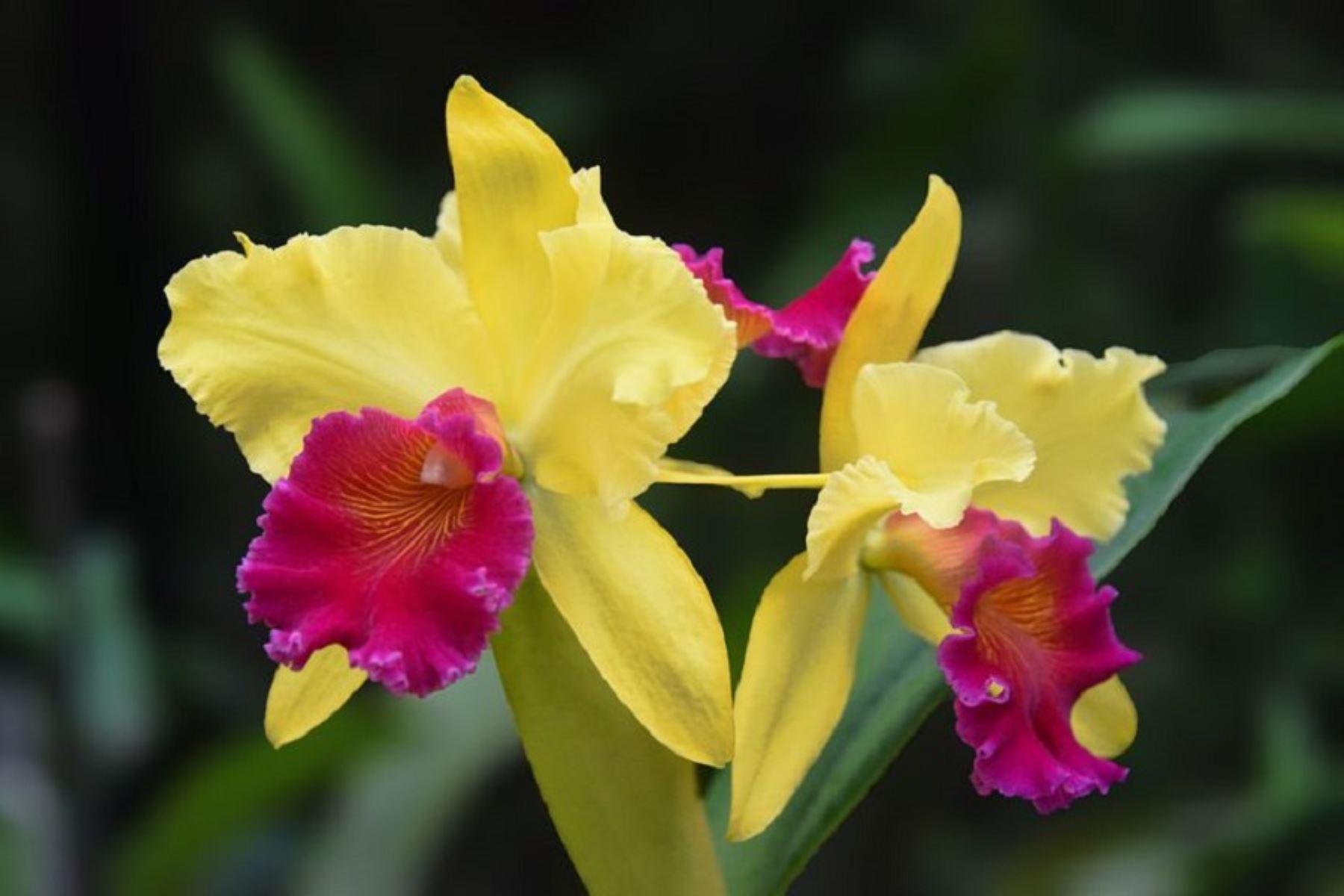 Formalizan 10 viveros de orquídeas para impulsar su comercio legal en San Martín. ANDINA