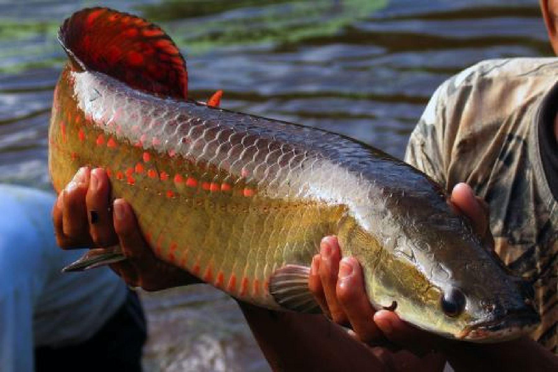 Investigadores del Instituto de Investigaciones de la Amazonía Peruana (IIAP) desarrollaron una innovadora tecnología que utiliza la glándula hipófisis del paiche para reproducción inducida de otros peces amazónicos de importancia comercial. ANDINA/Difusión