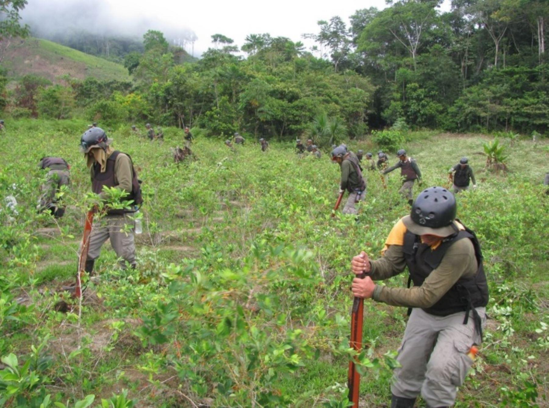 El Proyecto Especial de Control y Reducción de Cultivos Ilegales en el Alto Huallaga (Corah) del Ministerio del Interior (Mininter) reportó la destrucción de 22,910.27 hectáreas de hoja de coca en los ámbitos cocaleros de Ucayali, Tingo María y Aguaytía durante el año 2017.
