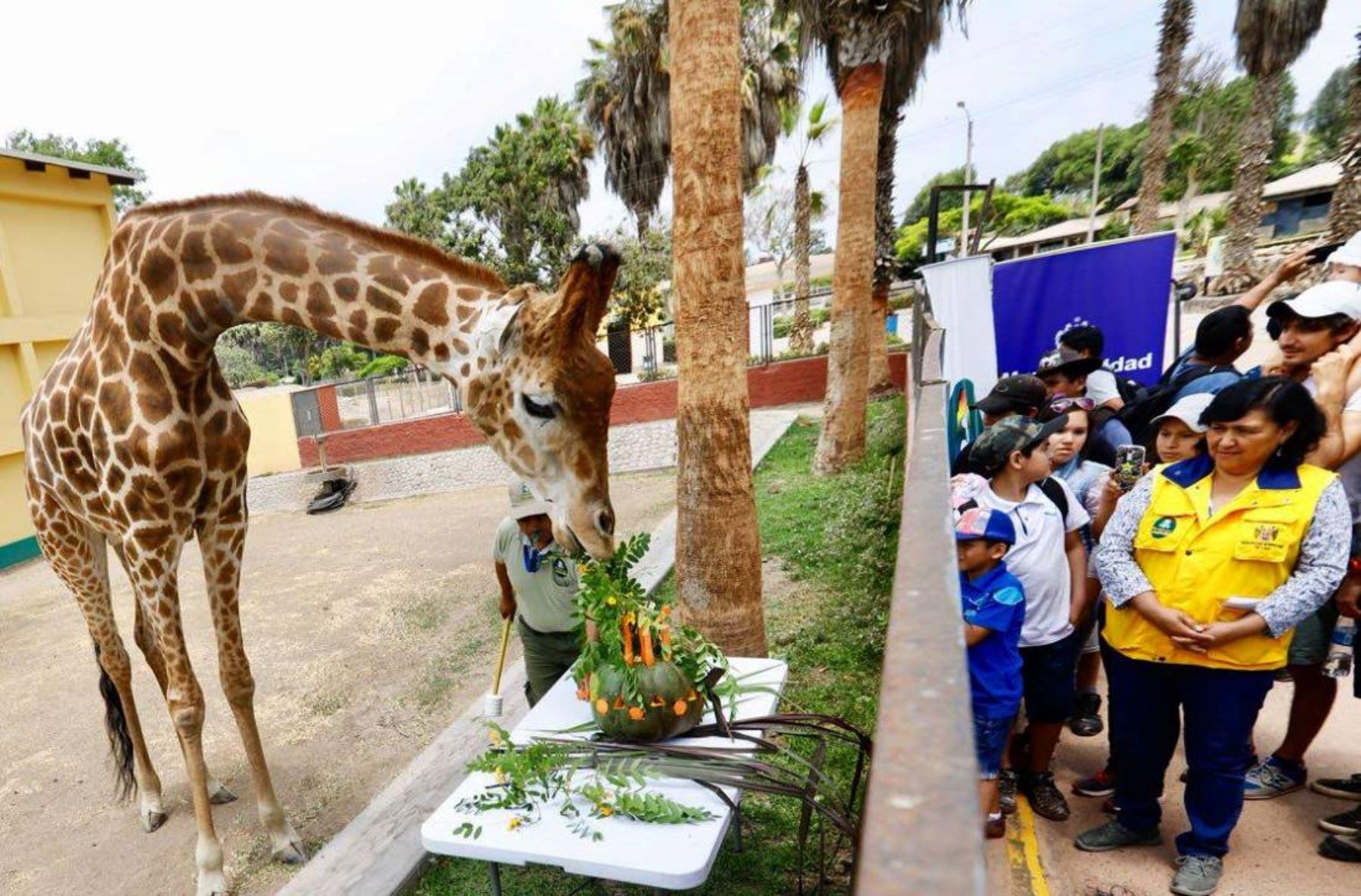 Jirafa Domingo celebra su cumpleaños en el Parque de las Leyendas. Foto: ANDINA/Difusión.