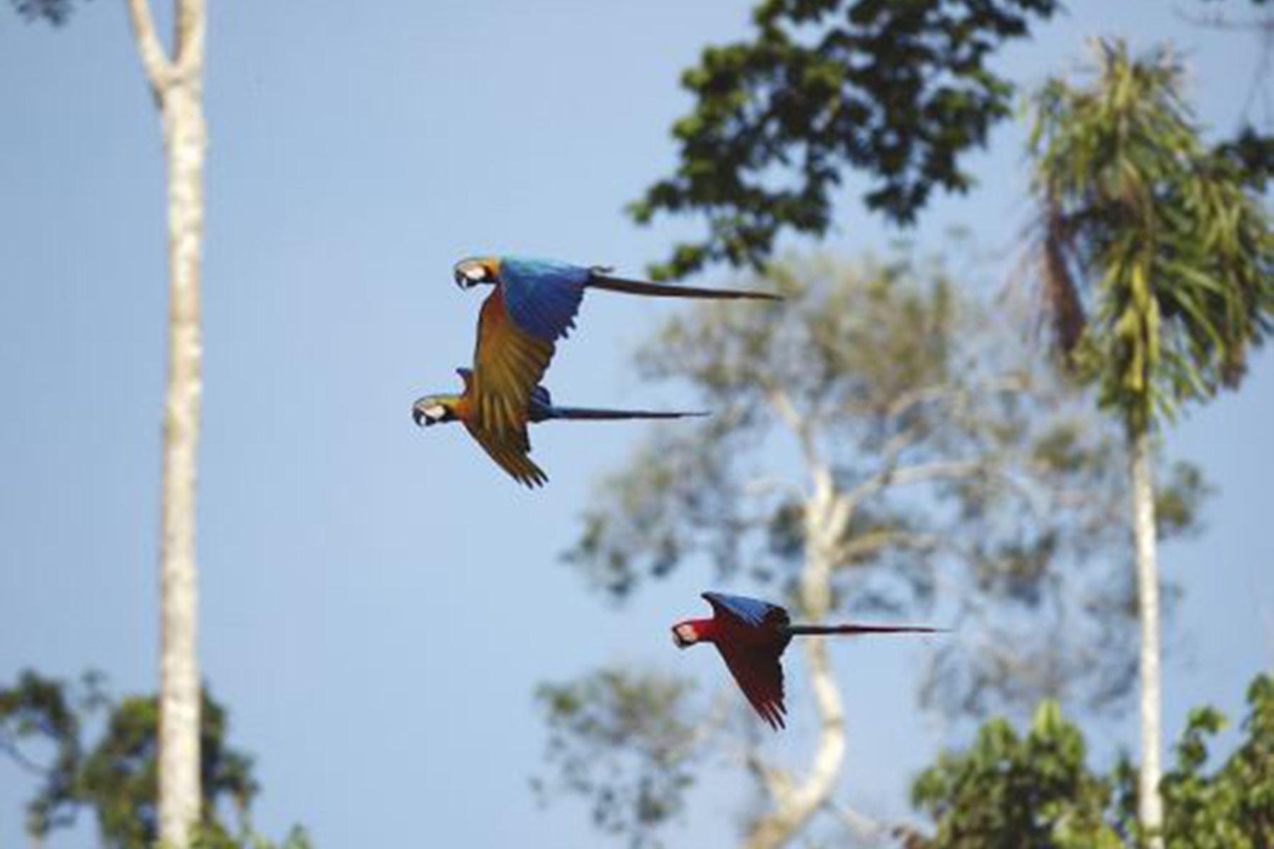 La Reserva Nacional Tambopata posee una gran población de guacamayos. ANDINA/Archivo