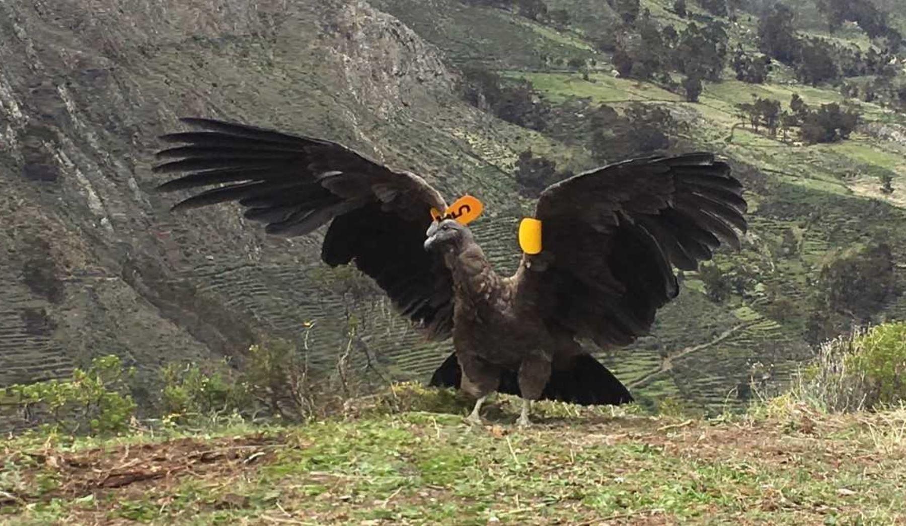 El Servicio Nacional Forestal y de Fauna Silvestre (Serfor) liberó un ejemplar de cóndor andino macho juvenil en la comunidad de Carania, provincia de Yauyos, región Lima, ubicada a 4,200 metros de altitud.