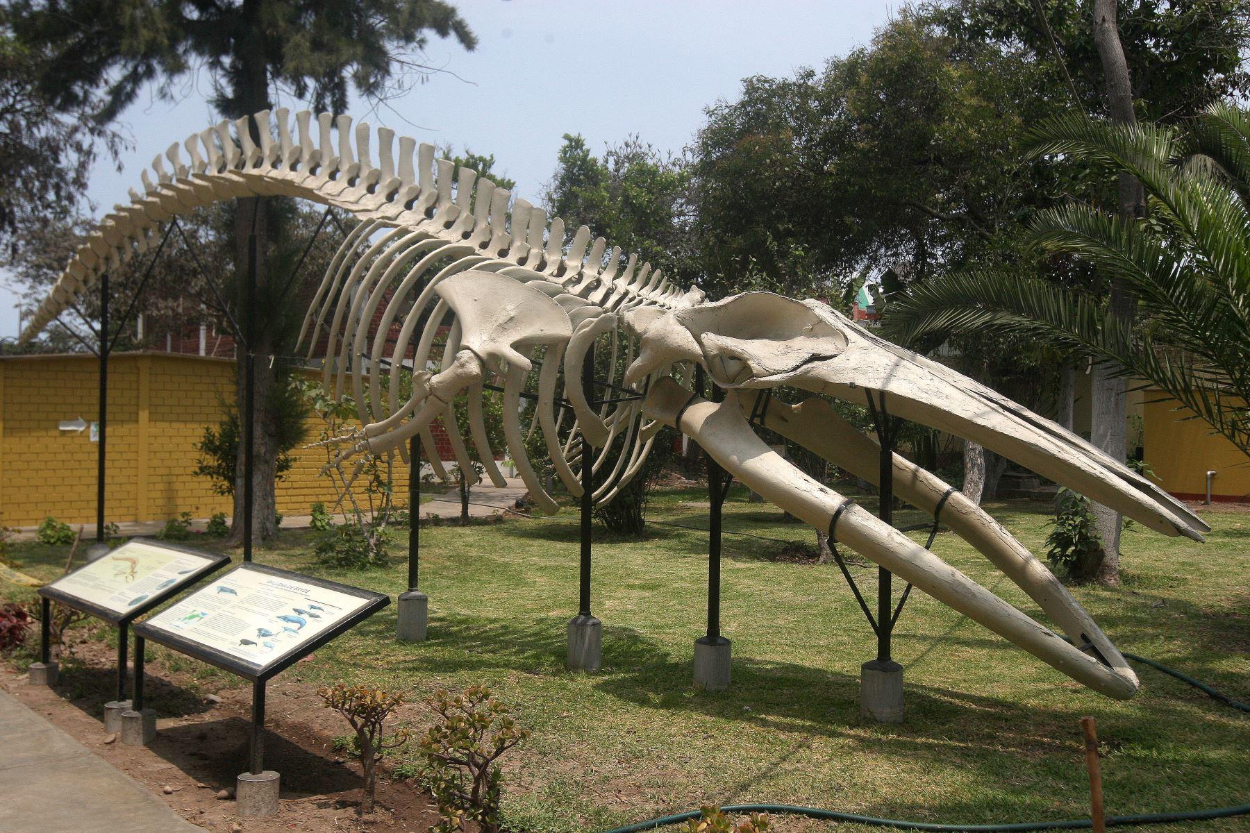 Osamenta de cachalote de millones de años de antigüedad en el Museo de Historia Natural. Foto: ANDINA/Héctor Vinces
