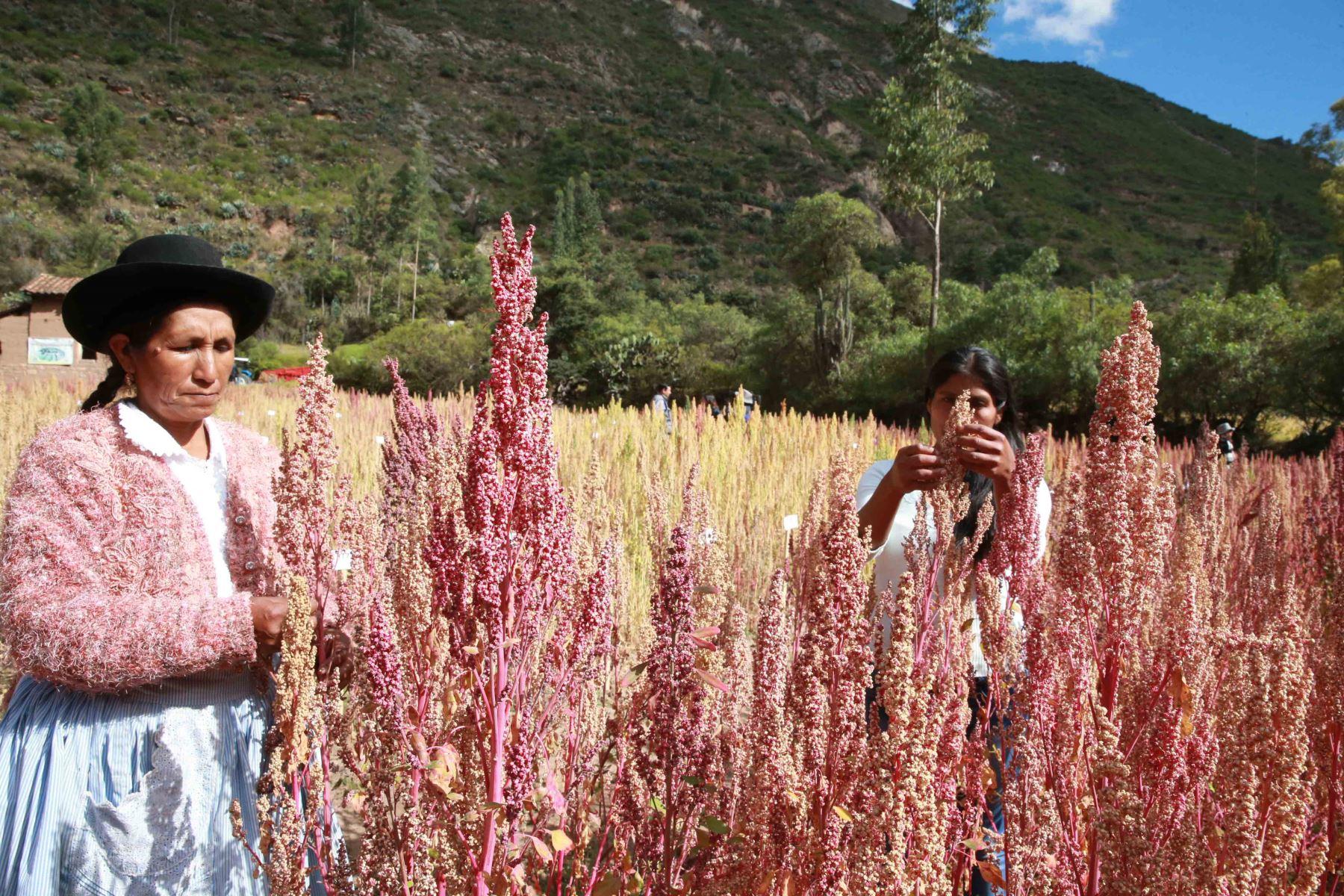 Quinua: el superalimento que cambia la vida de los agricultores de Perú. ANDINA