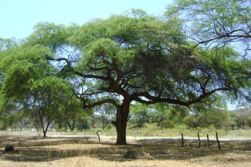 Conocido también como huarango, el algarrobo es un árbol oriundo del Perú y especie emblemática del bosque seco en la costa norte. ANDINA/Archivo