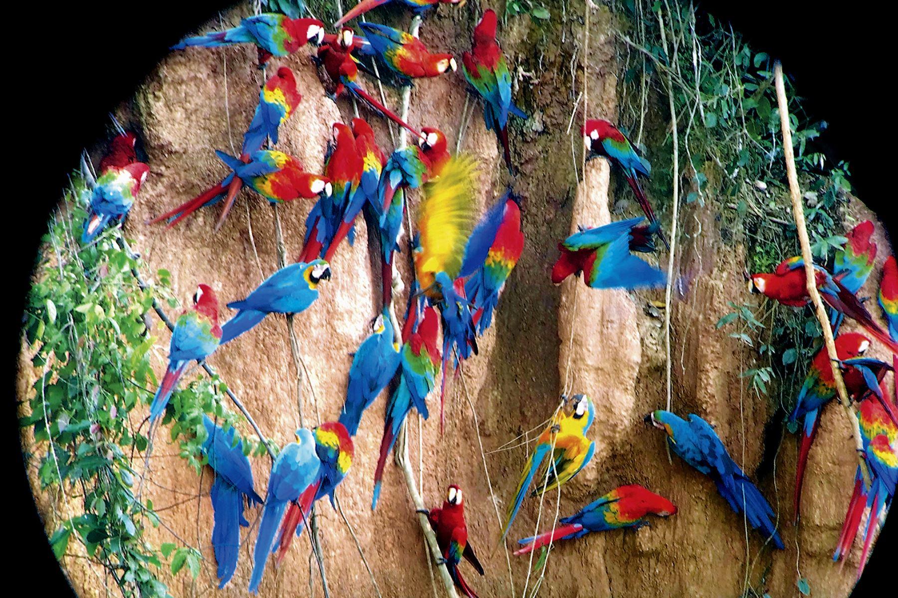 Los guacayamos son la especie más amenazada por los traficantes de animales. Foto: Cortesía/ Gustavo Sánchez
