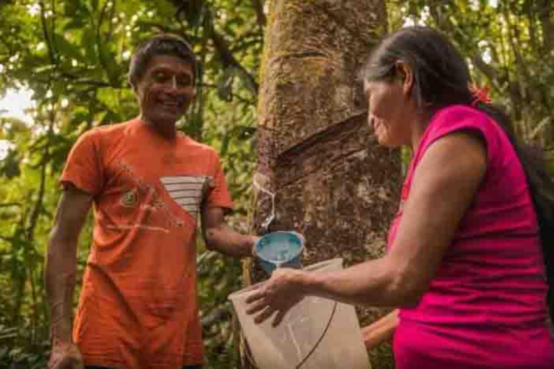 El árbol de la shiringa es una especie forestal amazónica de la cual se extrae el látex natural o silvestre con el cual se produce cuero vegetal que sirve para elaborar productos impermeables como bolsos, mochilas, suelas para calzado, capas, llaveros y artículos artesanales, entre otros. ANDINA/Difusión