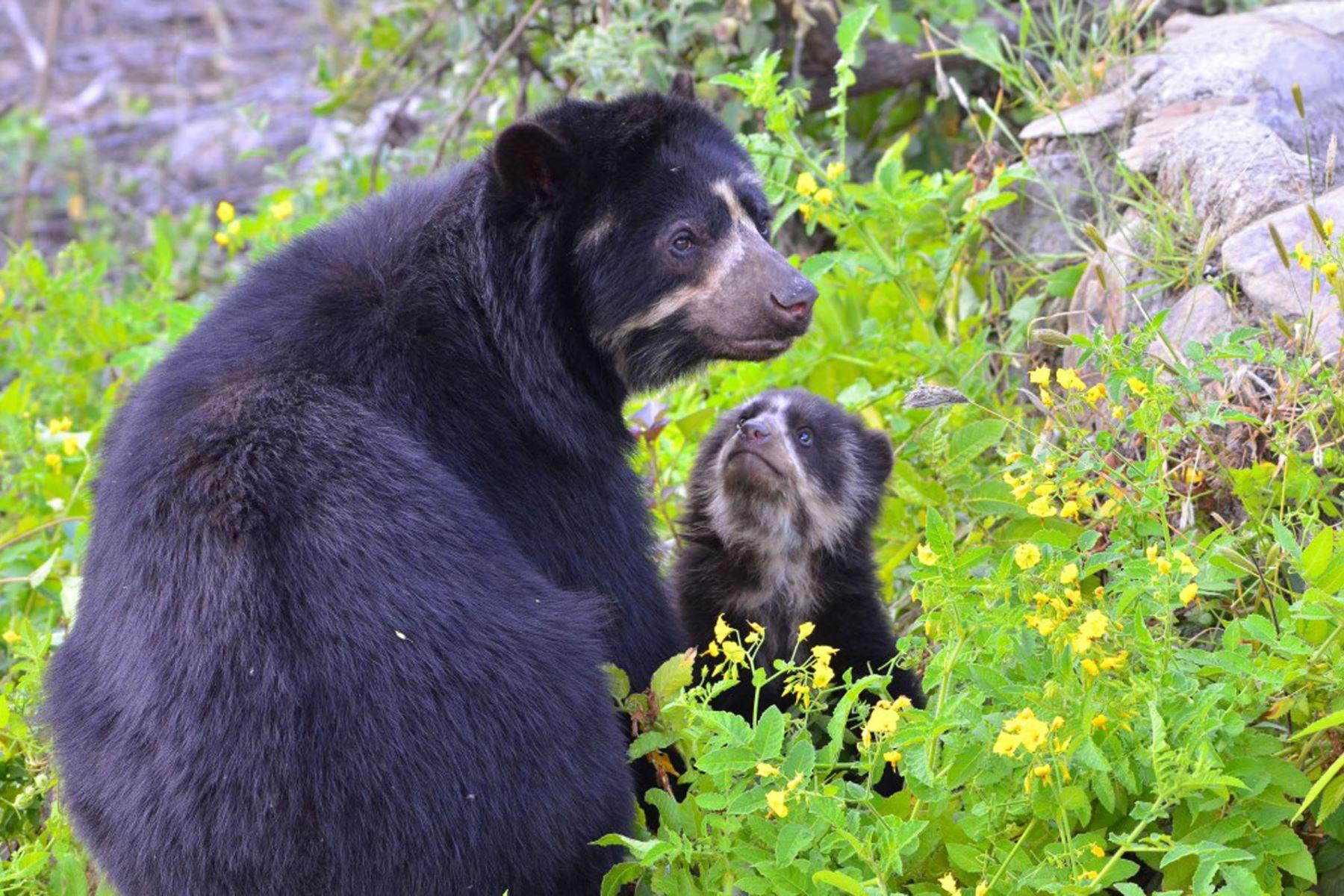 El oso de anteojos (Tremarctos ornatus) es una de las especies emblemáticas de la Reserva Ecológica Chaparrí. En área se ubica a la única población importante de osos de anteojos de la costa peruana al registrar alrededor de 40 ejemplares. Foto: Heinz Plenge