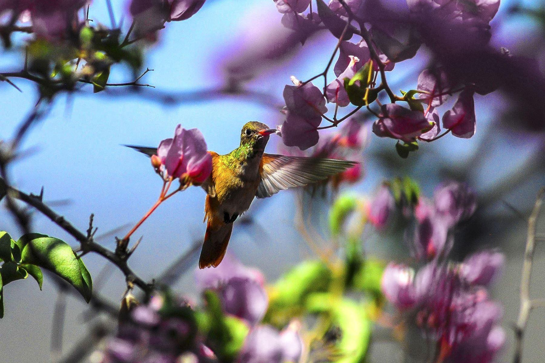 Colibrí de vientre rufo (Amazilia amazilia), mide aproximadamente 9 cm y es el colibrí más abundante que vive en la Reserva Ecológica Chaparrí. Foto: Heinz Plenge