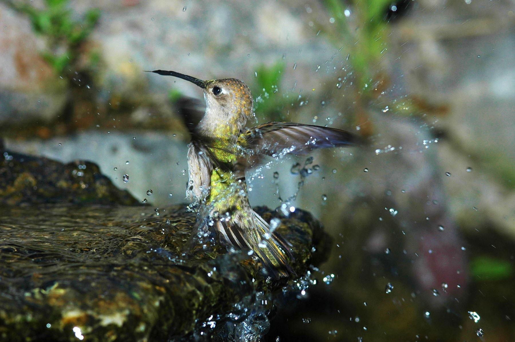 Colibrí de Tumbes (Leucippus baeri), es un colibrí endémico del bosque seco y una de las 12 especies de colibríes registrados en la reserva. Foto: Heinz Plenge