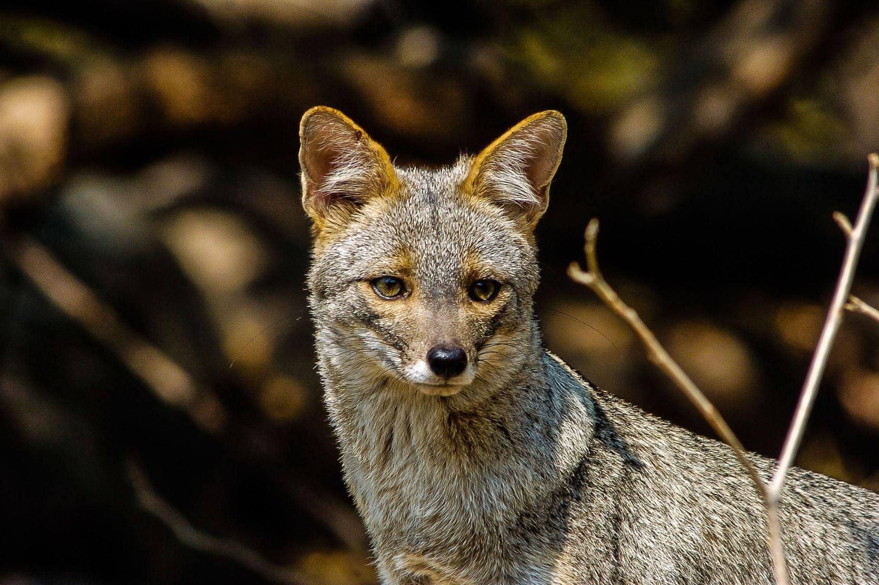 Zorro costeño o de Sechura (Pseudalopex sechurae). Es la especie de zorro más pequeña de Sudamérica y en la Reserva Ecológica Chaparrí es relativamente común. Foto: Heinz Plenge
