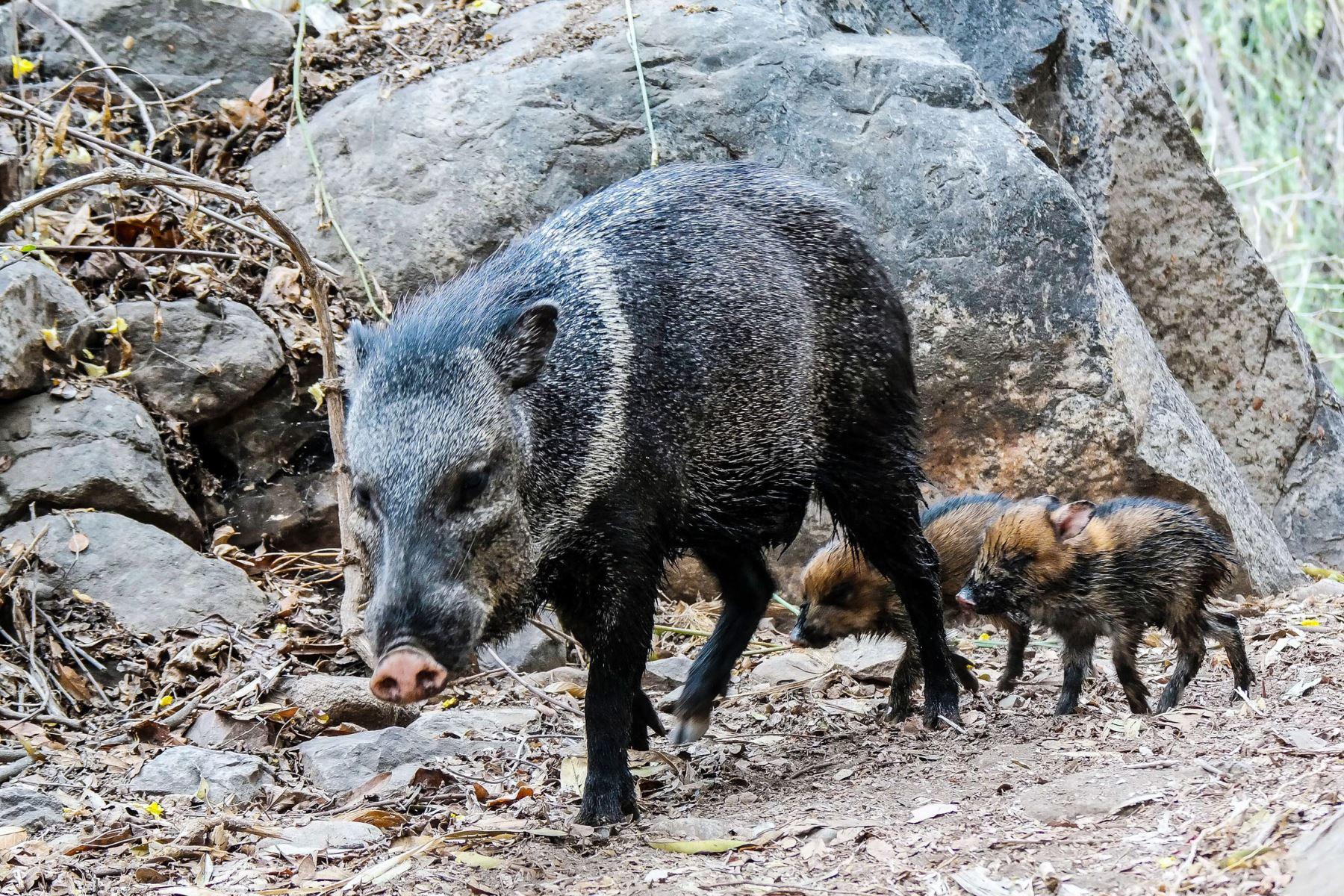 Sajino o Pecarí de Collar (Tayassu tajacu), es un cerdo silvestre frecuente en la reserva y muy común en la Amazonía peruana. Normalmente se le ve en pequeños grupos de hasta 20 individuos. Foto: Heinz Plenge
