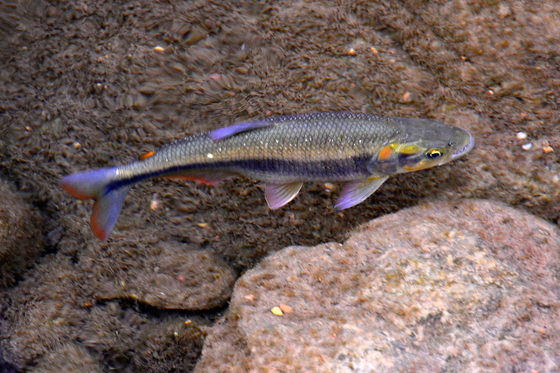Cascafe (Brycon atrocaudatus). Es la más abundante de las cinco especies de peces registradas en Chaparrí. Habita en las escasas fuentes de agua de la reserva. Foto: Heinz Plenge