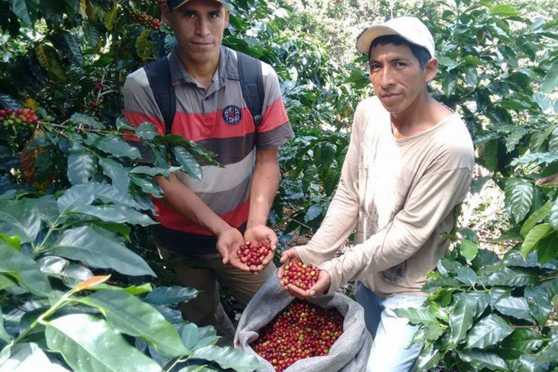 Recomiendan adoptar medidas para combatir a la roya del café en Junín. ANDINA/Difusión